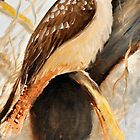 kookabura by three by Glen Johnson