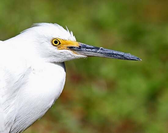 Snowy egret profile by jozi1
