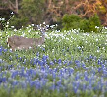 Deer in a Field of Bluebonnets by RobGreebonPhoto