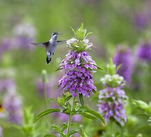 Hummingbird in Texas Wildflowers by RobGreebonPhoto