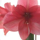 Backlit Amaryllis by Linda Makiej