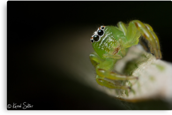 (Mopsus mormon female) Jumping Spider by Kerrod Sulter