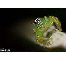 (Mopsus mormon female) Jumping Spider Photographic Print