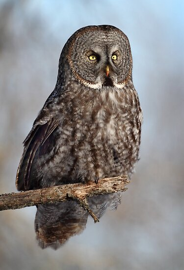 Session With A Great Grey Owl by Gary Fairhead