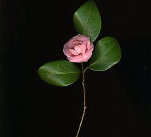 Tiny Pink Camellia by Barbara Wyeth