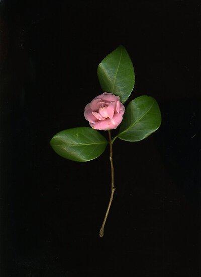 Tiny Pink Camellia by Barbara Wyeth