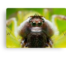 (Mopsus mormon male) Jumping Spider #2 Canvas Print