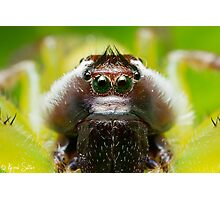 (Mopsus mormon male) Jumping Spider #2 Photographic Print