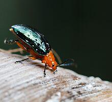 Orange-blue Narrow-necked Leaf Beetle - Criocerinae lema by Normf