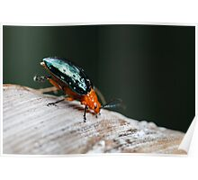 Orange-blue Narrow-necked Leaf Beetle - Criocerinae lema Poster