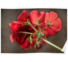 Red Geranium In Progress Poster