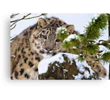 Young Snow Leopard in the snow.  Canvas Print