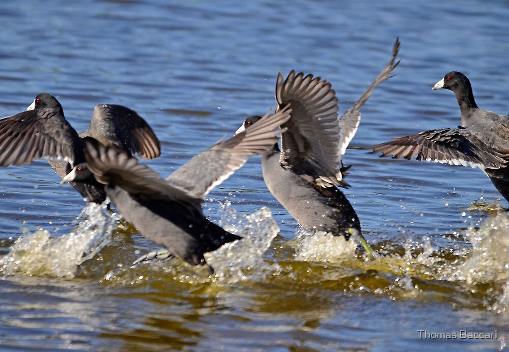 And Its a Coot Race (Bang _ And They Are Off) by TJ Baccari Photography