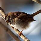 White Throated Sparrow by Bine