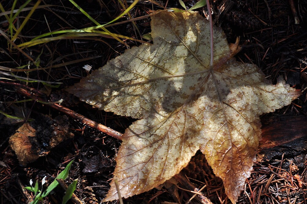 Large Leaf On The Forest Floor by CADavis