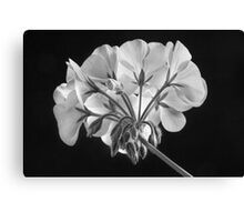 Geranium Flower In Progress Black and White Canvas Print