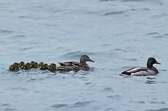 ¸¸.♥➷♥•*¨DUCKS,MOM,DAD,AND BABIES WITH ANIMATION¸¸.♥➷♥•*¨ by ✿✿ Bonita ✿✿ ђєℓℓσ