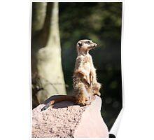 Meerkat lookout Poster