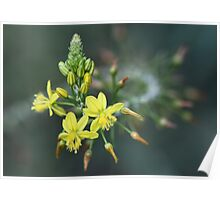 Bulbine Beauty Poster