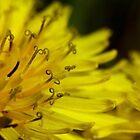 Dandelion Macro by KristaDawn