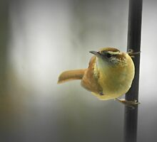 Carolina Wren Hanging Out by Kelly Chiara