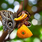 Owl Butterfly by KristaDawn