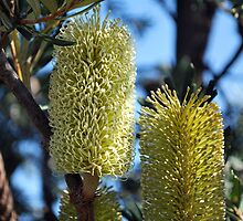 Banksia in the Bush by Lozzar Flowers & Art