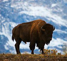 Teton Bison - Grand Teton National Park by Mark Kiver
