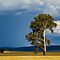 Lone Trees in the Southern Hemisphere
