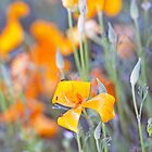 Poppies Galore by jayneeldred