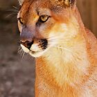 Curious Cougar by Darrick Kuykendall