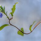 Australian Bluebell by Dianne English
