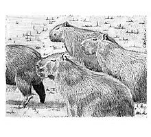 A capybara group (Hydrochoerus hydrochaeris) Photographic Print