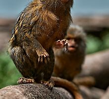 Pygmy Marmoset by Ian English
