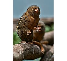 Pygmy Marmoset Photographic Print