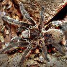 Chilean rose tarantula by larry flewers