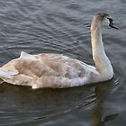 Swimming Swan by Paul Hutcheon