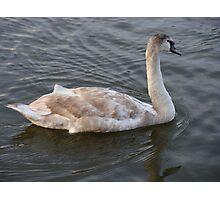 Swimming Swan Photographic Print