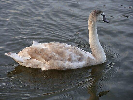 Swimming Swan by Paul Hutcheon