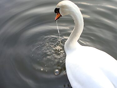 Swan Drinking by Paul Hutcheon