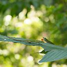 Green Tree Anole by Mark Prior