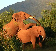 Two male elephant delinquents  by Edward Ansett-Cunningham