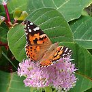 Cape Cod Butterfly by Anne E Colturi
