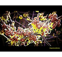 Witch Hazel Photographic Print