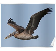Brown Pelican with fish Poster