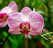 Moth Orchid by Pravine Chester