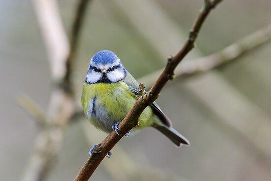 Blue tit, County Kilkenny, Ireland by Andrew Jones