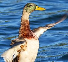 Duck Flapping Wings by Darrick Kuykendall
