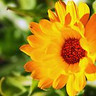 Yellow-Orange Flower by Darrick Kuykendall