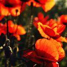 red poppy by Falko Follert
